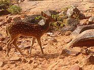 Spotted Deer axisaxis at deerpark Tirumala hills