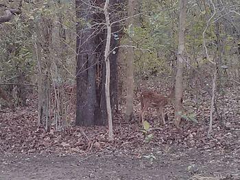 Spotted Deer in Bandhavgarh National Park.jpg