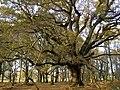 Spreading oak tree in Matley Wood, New Forest - geograph.org.uk - 285758.jpg