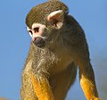 Squirrel Monkey 1 (8489680574).jpg