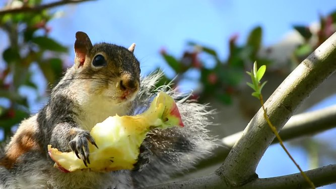 File:Squirrel in tree eating an apple.webm