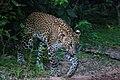 Srilankan leopard in Yala National Park.jpg