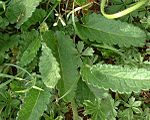 Stachys officinalis2.jpg