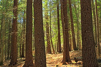 Tsuga canadensis - Stand of eastern hemlock and eastern white pine in Tiadaghton State Forest, Pennsylvania. (Note the hemlocks' deeply fissured bark.)