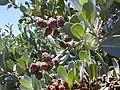 Starr-010330-0598-Conocarpus erectus-leaves and fruit-Kahului-Maui (24423815152).jpg