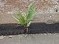 Starr-010914-0065-Washingtonia robusta-seedling in crack in road-Lahaina-Maui (24433886332).jpg