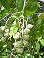 Starr-040117-0058-Conocarpus erectus-fruit-Ukumehame-Maui (24696970185).jpg