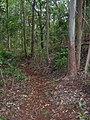 Starr-041214-1533-Cordyline fruticosa-trail building-Makawao Forest Reserve-Maui (24721316015).jpg