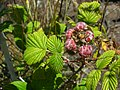 Starr-050817-3866-Rubus niveus-form a fruit-Keahuaiwi Gulch-Maui (24802311365).jpg