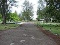 Starr-080608-7501-Ficus benjamina-habit-Midway Mall Sand Island-Midway Atoll (24288252304).jpg