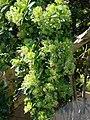 Starr-090429-6475-Pimenta dioica-flowers-Spreckelsville-Maui (24322210864).jpg