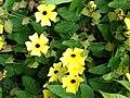Starr-090430-7040-Thunbergia alata-cv Sundance yellow flowers-Enchanting Floral Gardens of Kula-Maui (24326935853).jpg