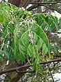 Starr-090518-7891-Melia azedarach-flowers and leaves-Omaopio-Maui (24587757059).jpg
