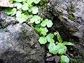Starr-090702-2011-Hydrocotyle sibthorpioides-habit-Chings Pond Hana Hwy-Maui (24874981961).jpg