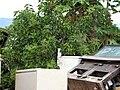 Starr-090713-2605-Jatropha curcas-habit-Lahaina-Maui (24969419035).jpg
