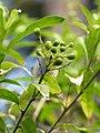 Starr-110307-2038-Cestrum nocturnum-fruit-Kula Botanical Garden-Maui (24959320532).jpg