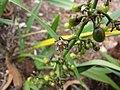 Starr-110411-5023-Dianella sandwicensis-flowers and fruit form lavarum-Hawea Pl Olinda-Maui (24714945069).jpg