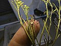 Starr-110719-6945-Lepidium virginicum-voucher 110515 02-Science City-Maui (24804515900).jpg