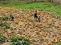Starr-111004-0574-Cucurbita pepo-pumpkin patch-Kula Country Farms-Maui (25000169922).jpg