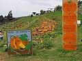 Starr-111004-0586-Cucurbita pepo-pumpkin patch and facts-Kula Country Farms-Maui (25092067976).jpg