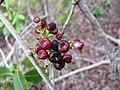 Starr-120229-2990-Syzygium cumini-fruit-Waikapu Valley-Maui (25017634582).jpg
