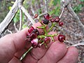Starr-120229-2991-Syzygium cumini-fruit-Waikapu Valley-Maui (24840233870).jpg