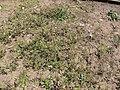 Starr-120329-3980-Senecio vulgaris-flowering habit-Near Stone building HNP-Maui (25019906542).jpg