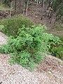 Starr-120415-4663-Solanum lycopersicum-habit in veggie garden Grape variety-Hawea Pl Olinda-Maui (25139459975).jpg