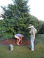 Starr-121108-1133-Annona muricata-habit with Angela and Forest-Pali o Waipio-Maui (24829176409).jpg
