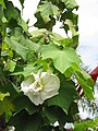 Starr-130312-2386-Hibiscus mutabilis-flowers white when first open-Pali o Waipio Huelo-Maui (24911617570).jpg