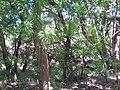 Starr-130702-2530-Thevetia peruviana-habit-Kealia Pond-Maui (24591080673).jpg
