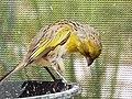 Starr-130911-0883-Conyza bonariensis-habitat with Laysan Finch-Lake Trail-Laysan (25223007755).jpg