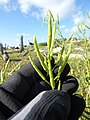 Starr-150328-0629-Brassica juncea-seedpods-Northwest Eastern Island-Midway Atoll (25268876485).jpg