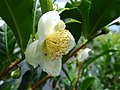 Starr-180919-0975-Camellia sinensis-flowers-Skyline Zipline Crater Rd-Maui (30876009547).jpg