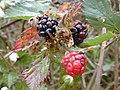 Starr 010423-0034 Rubus argutus.jpg