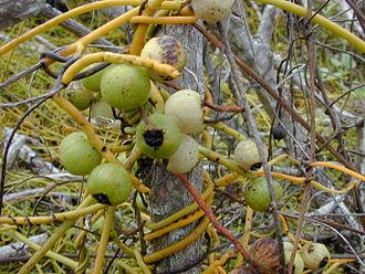 Cassytha filiformis - Cassytha filiformis, Hawaii