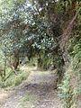 Starr 010908-0022 Ficus cf. platypoda.jpg