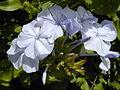 Starr 030418-0069 Plumbago auriculata.jpg