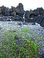 Starr 030716-0083 Jacquemontia ovalifolia subsp. sandwicensis.jpg