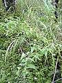 Starr 031118-0091 Tibouchina longifolia.jpg