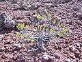 Starr 041006-0057 Silene struthioloides.jpg