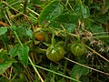 Starr 041228-2431 Solanum lycopersicum var. cerasiforme.jpg