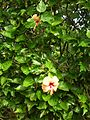 Starr 050107-2955 Hibiscus rosa-sinensis.jpg