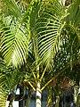 Starr 061206-1977 Chrysalidocarpus lutescens.jpg