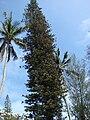 Starr 080531-4927 Araucaria heterophylla.jpg