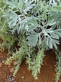 Starr 081230-0624 Artemisia australis