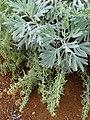 Starr 081230-0624 Artemisia australis.jpg