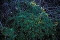 Starr 981215-2813 Lonicera japonica.jpg