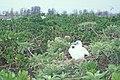 Starr 990406-0459 Tournefortia argentea.jpg