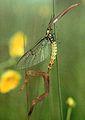 Stilted Marsh Fly.jpg